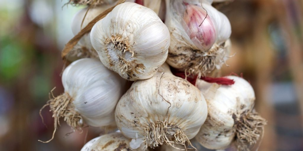 bunch-of-garlic