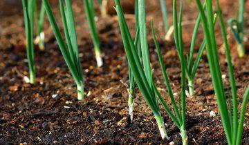 Plantar cebolas