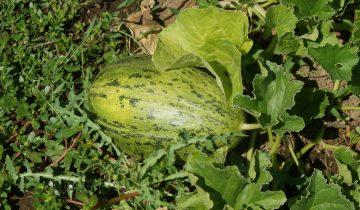 Plantar Meloes