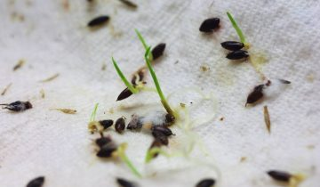 germinacao de sementes