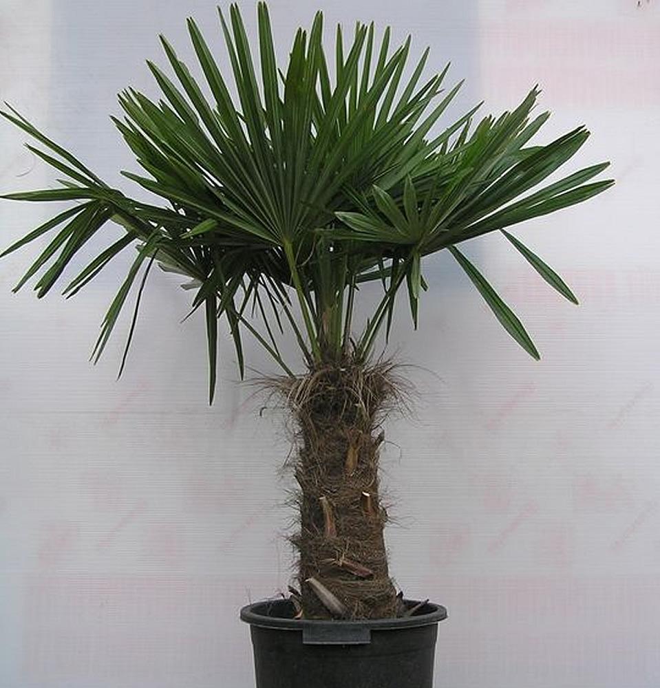 palmeira-chinesa