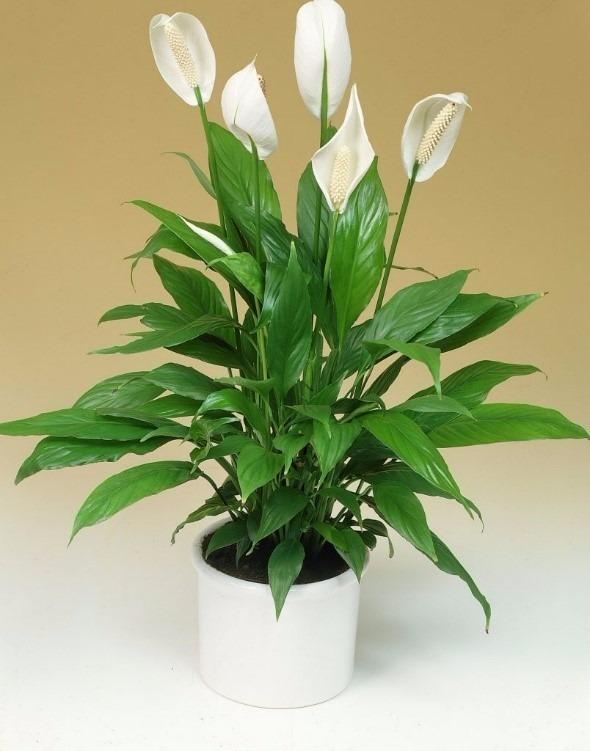 muda-lirio-da-paz-mini-8-a-20cm-spathiphyllum-wallisii-d_nq_np_845808-mlb26681914891_012018-f