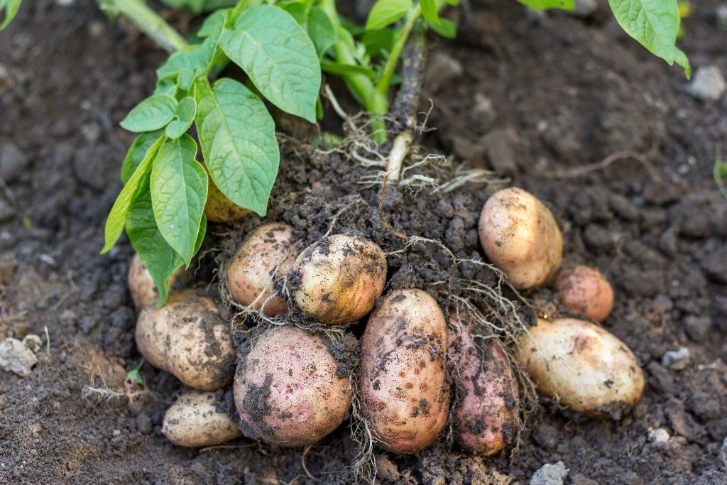 Semear Batatas