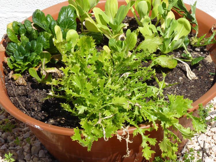 semear plantar alfaces em vasos