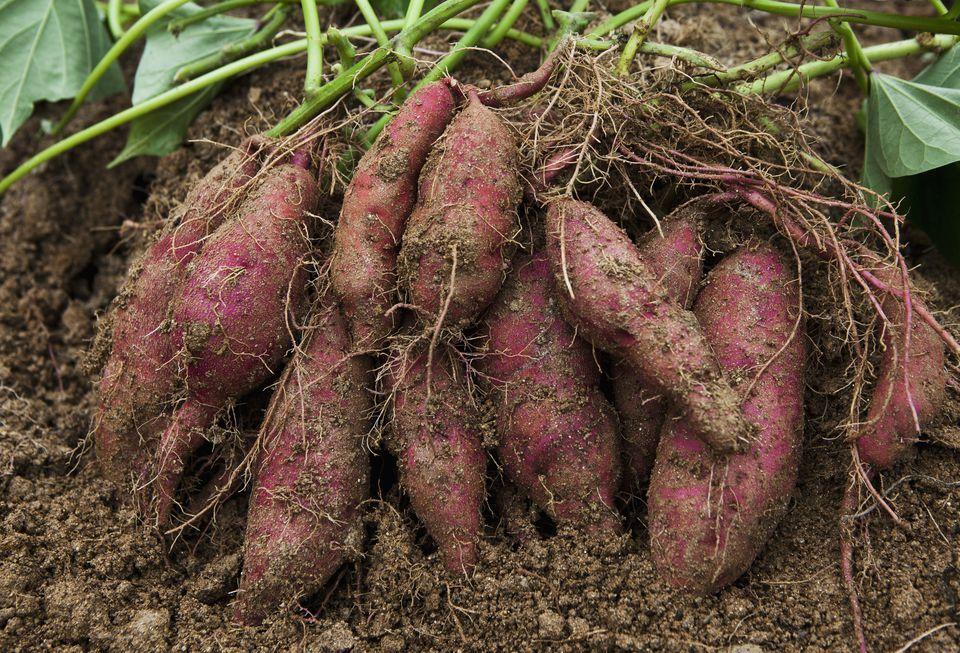 como-semear-batata-doce